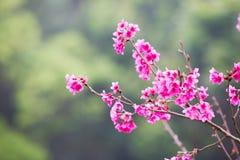 El melocotón florece las flores rosadas Foto de archivo