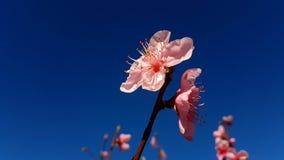 El melocotón florece las flores rosadas contra el cielo azul profundo imagenes de archivo