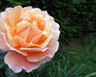 El melocotón hermoso subió en jardín foto de archivo