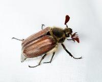 El melolontha del Melolontha, abejorro, puede introducir errores de funcionamiento Fotografía de archivo libre de regalías