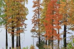 El Metasequoia sea un alboroto de colores en la caída Foto de archivo libre de regalías