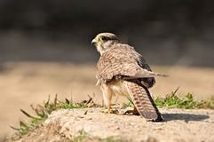 El miedo de los cazadores del pájaro Imagenes de archivo