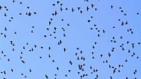 El milésimo de una multitud de estorninos vuela de árbol almacen de metraje de vídeo