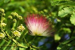 El mimosa japonés Fotografía de archivo libre de regalías