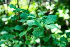 El miniatus del Euonymus de la rama está con las hojas Imagen de archivo libre de regalías