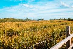 El mirar detrás la huerta de un laberinto del maíz en el medio de la granja imagenes de archivo