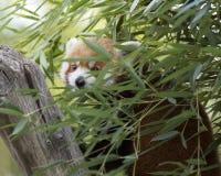 El mirar a escondidas de la panda roja Fotografía de archivo