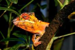 El mirar a escondidas del camaleón de la pantera Imagenes de archivo