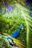 El mirar a escondidas del pavo real Fotos de archivo libres de regalías