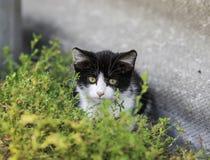 El mirar a escondidas divertido del pequeño gatito lindo de detrás la hierba foto de archivo