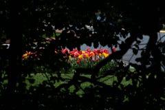 El mirar a escondidas hacia fuera de una silueta de árboles en el rosa y los tulipanes amarillos imagen de archivo