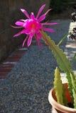 El mirar a escondidas rosado de la orquídea Imagenes de archivo