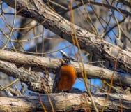 El mirar a escondidas a través de las ramas Fotografía de archivo