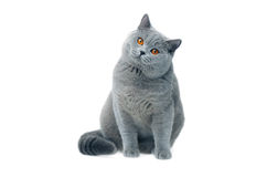 El mirar fijamente británico del gato Fotografía de archivo libre de regalías
