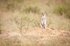 El mirar fijamente curioso del meerkat imagen de archivo libre de regalías