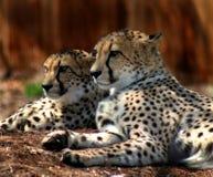 El mirar fijamente de dos guepardos Fotos de archivo