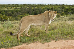 El mirar fijamente de la leona Imagen de archivo