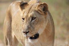 El mirar fijamente de la leona Foto de archivo