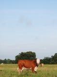 El mirar fijamente de la vaca de Hereford Fotografía de archivo