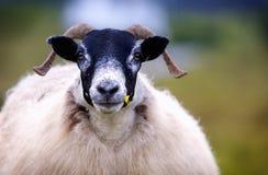El mirar fijamente de las ovejas Imagenes de archivo
