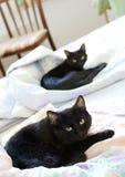 El mirar fijamente de los gatos negros Fotos de archivo libres de regalías