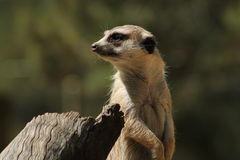 El mirar fijamente de Meerkat Fotografía de archivo libre de regalías