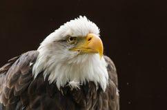 El mirar fijamente del águila calva Fotografía de archivo libre de regalías