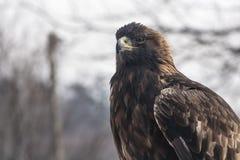 El mirar fijamente del águila de oro Imagen de archivo