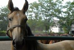 El mirar fijamente del caballo Imagen de archivo libre de regalías