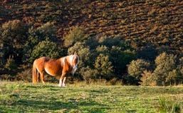 El mirar fijamente del caballo de Pottoka Imágenes de archivo libres de regalías