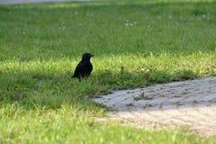 El mirar fijamente del cuervo Fotografía de archivo