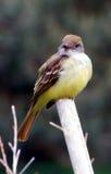 el mirar fijamente del flycatcher Imagenes de archivo