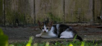 El mirar fijamente del gatito del calicó foto de archivo libre de regalías