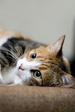 El mirar fijamente del gato Imagen de archivo