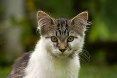 El mirar fijamente del gato Fotos de archivo libres de regalías