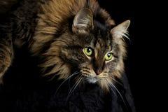 El mirar fijamente del gato Imágenes de archivo libres de regalías