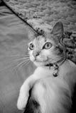 El mirar fijamente del gato foto de archivo