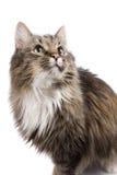 El mirar fijamente del gato. fotos de archivo