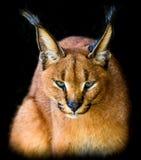 El mirar fijamente del gato del Serval Foto de archivo libre de regalías
