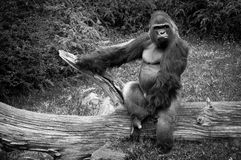 El mirar fijamente del gorila Fotografía de archivo libre de regalías
