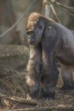 El mirar fijamente del gorila Imagen de archivo libre de regalías