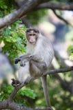 El mirar fijamente del macaque del macaco de la India Imagen de archivo