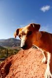El mirar fijamente del perro Foto de archivo libre de regalías