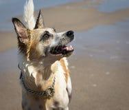 El mirar fijamente del perro Imagen de archivo