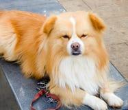 El mirar fijamente del perro casero Fotos de archivo