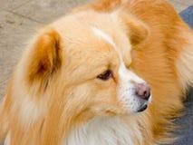 El mirar fijamente del perro casero Imagenes de archivo