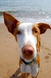 El mirar fijamente del perro de Ibizan Foto de archivo libre de regalías