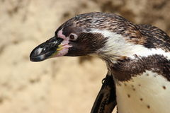El mirar fijamente del pingüino Imagen de archivo