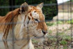 El mirar fijamente enjaulado del tigre Imagen de archivo