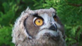 El mirar fijamente eurasiático del Eagle-búho Fotos de archivo libres de regalías
